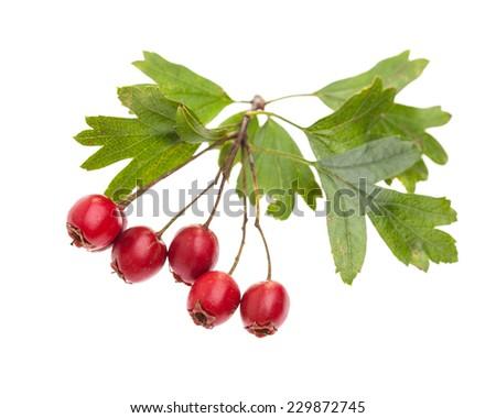 medicinal plants: Crataegus monogyna (Crataegus monogyna) with red berries isolated on white background - stock photo