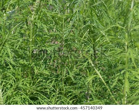 Medicinal plants named Siberian motherwort - stock photo