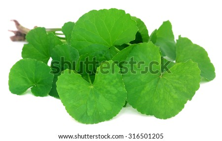 Medicinal thankuni leaves of Indian subcontinent - stock photo