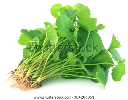 Medicinal thankuni leaves over white background - stock photo