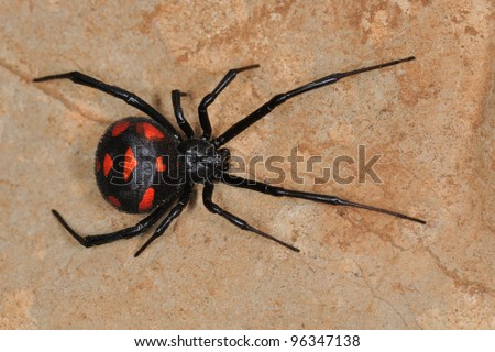 Mediterranean black widow (Latrodectus tredecimguttatus). Wild female in Sardinia. - stock photo