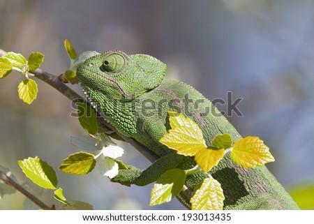Mediterranean Chameleon, Andalusia, Spain - stock photo