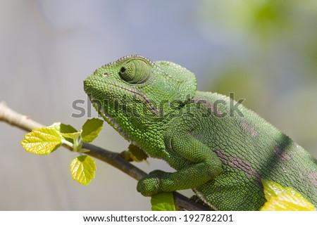 Mediterranean Chameleon (Chamaeleo chamaeleon) portrait of head and shoulders - stock photo
