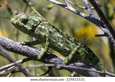 Mediterranean Chameleon (Chamaeleo chamaeleon), Quinta do Marim, Ria Formosa Nature Park, near Faro, Algarve, southern Portugal. - stock photo