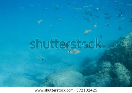 Mediterranean fish underwater. Called Sparlotti in italian