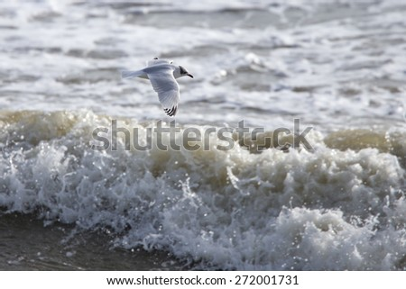 Mediterranean Gull, a second winter flying low over crashing waves, Marazion, Cornwall, England, UK. - stock photo
