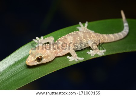 Mediterranean house gecko - Hemidactylus turcicus - stock photo
