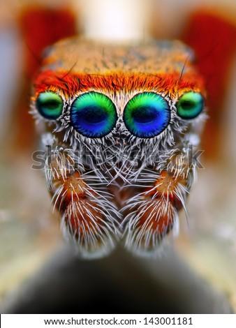Mediterranean jumping spider close up - stock photo