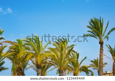 Mediterranean Palm trees on blue sky Phoenix Canariensis