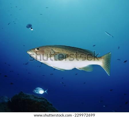 Mediterranean Sea, tunisia, Tabarka, grouper (Epinephalus guaza) - FILM SCAN - stock photo