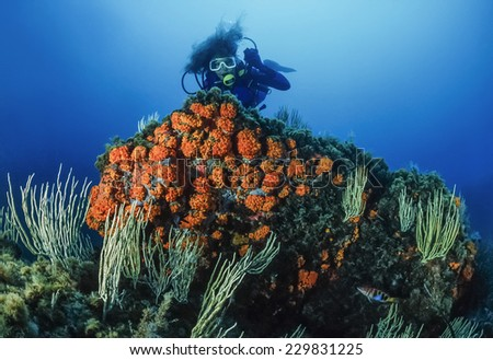 Mediterranean Sea, U.W. photo, Tunisia, Tabarka, diver, white gorgonians and parazoanthus - FILM SCAN - stock photo