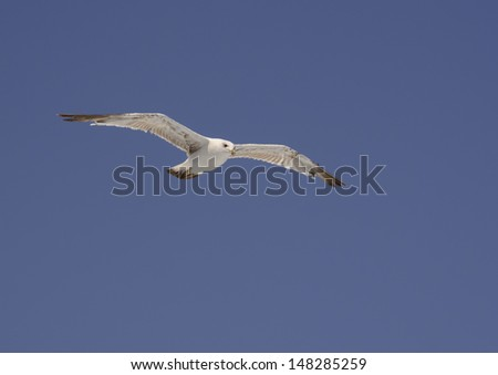 Mediterranean seagull soaring against blue sky, Laridae, Cape Formentor. - stock photo