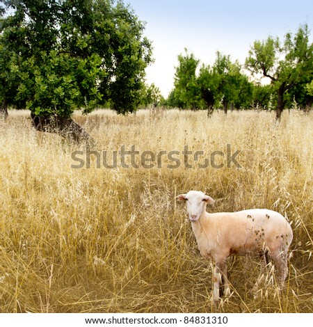 Mediterranean sheep on wheat and almond trees field in Majorca spain - stock photo