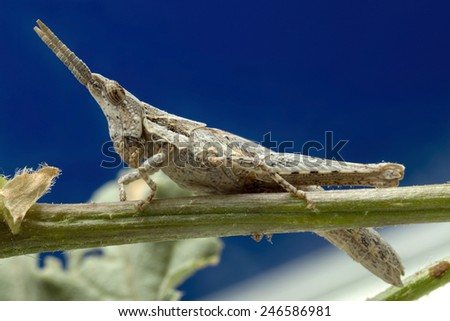 Mediterranean Slant Faced Grasshopper - stock photo