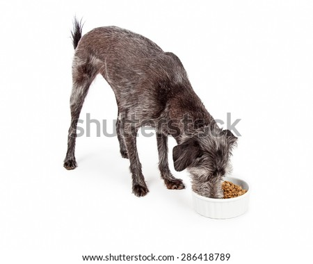Medium size mixed breed dog eating a bowl of dry kibble food. Isolated on white.  - stock photo