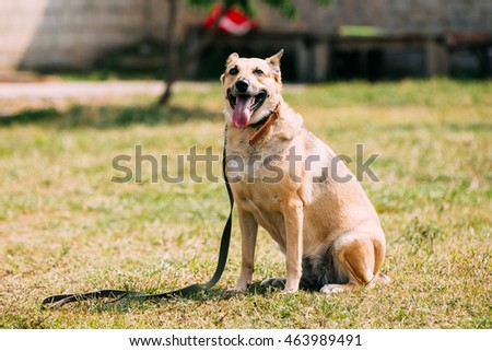 Medium Size Mongrel Mixed Breed Short-Haired Yellow Golden Adult Female Dog With Opened Jaws, Tongue In Collar Sitting On Trimmed Sunny Lawn.