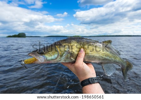 Medium size walleye in the angler's hand - stock photo