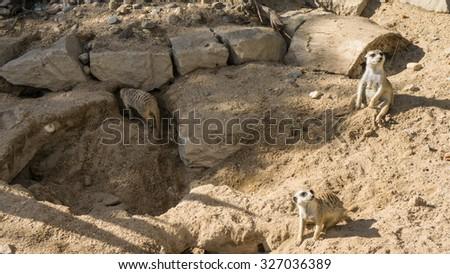 meercat meerkat - stock photo