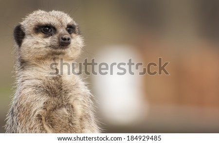 Meerkat at Yorkshire Wildlife Park - stock photo