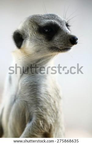 Meerkat face close up - stock photo