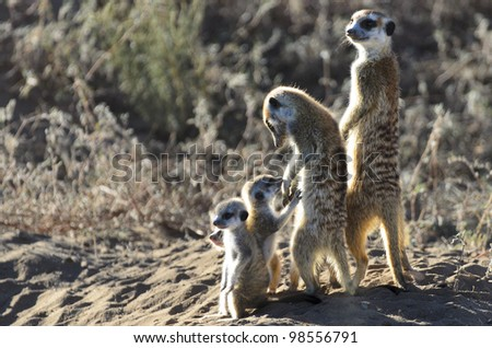 Meerkat Family in Kgalagadi - stock photo