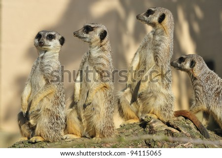Meerkat Group - stock photo