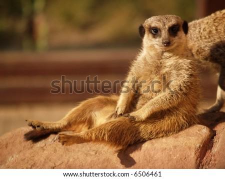meerkat in garden - stock photo