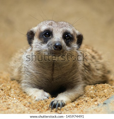 Meerkat is lying flat on the ground. His eyes staring at cute. - stock photo