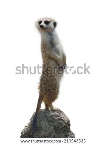 Meerkat Isolated On White Background - stock photo