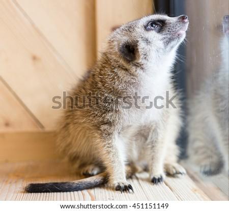 Meerkat looking up - stock photo