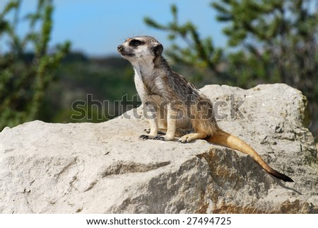 meerkat lookout siting patiently on a big stone - stock photo