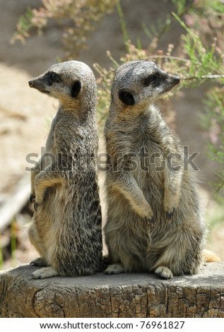 Meerkat lookouts sitting back to back on tree stump. - stock photo