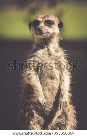 Meerkat, Meercat (Surikate) standing upright as Sentry - Suricata suricatta - stock photo