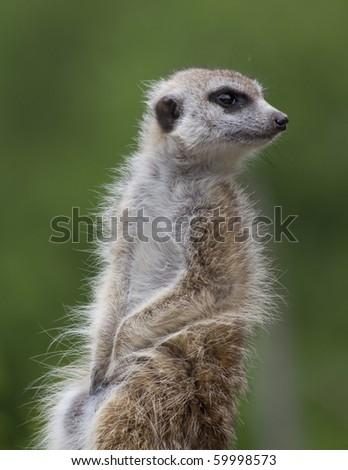 Meerkat on alert - stock photo