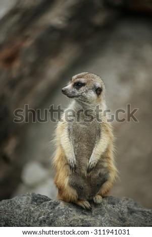 Meerkat or suricate, is small carnivoran belonging to mongoose family (Herpestidae). - stock photo