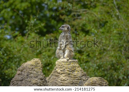 Meerkat portrait standing on a rock and looking up - stock photo