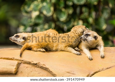Meerkat resting on ground in zoo, Thailand.