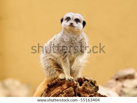 Meerkat sitting and facing camera - stock photo