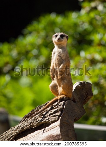 Meerkat sitting and watching around (Suricata suricatta) - stock photo