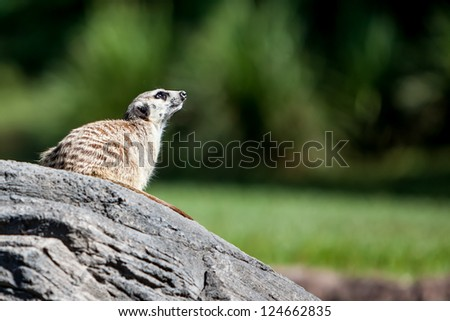 meerkat sitting on a rock looking up. Beautifuly clean blurred green background with space for your custom text - stock photo