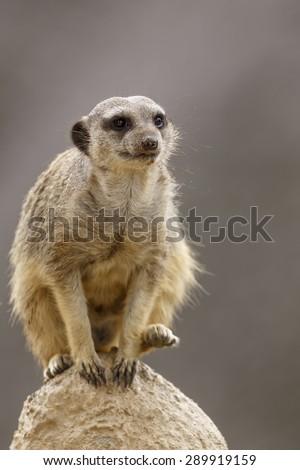 Meerkat sitting on the high stone - stock photo