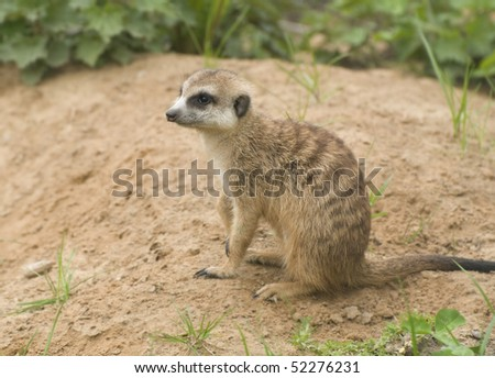 meerkat sitting on the sand - stock photo