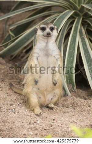 Meerkat sitting on the sand in open zoo - stock photo