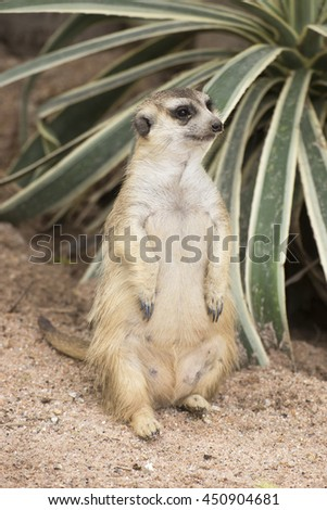 Meerkat sitting on the sand in open zoo - stock photo