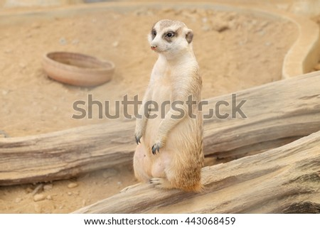 Meerkat stand on timber - stock photo