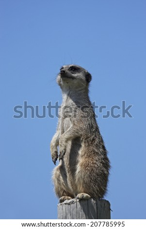Meerkat,standing on a post with a blue background
