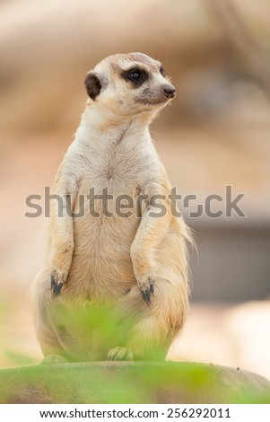 Meerkat standing on a rock staring. - stock photo