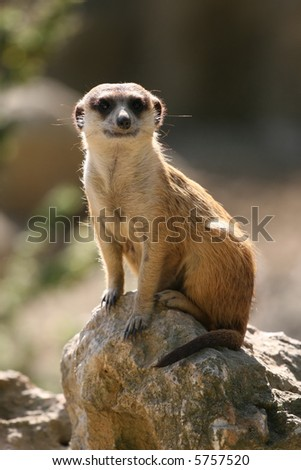 Meerkat standing on the rock and looking at the camera