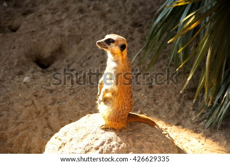 Meerkat stands on a rock in the zoo - stock photo