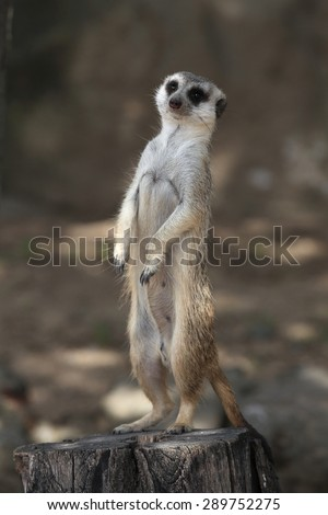 Meerkat (Suricata suricatta), also known as the suricate. Wildlife animal.  - stock photo